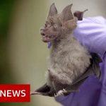 Coronavirus: Looking for viruses in Thai bats – BBC News