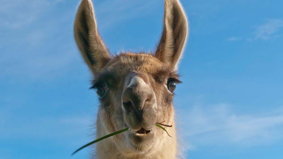 Llama 'nanobodies' are powerful new COVID-19 treatment: study
