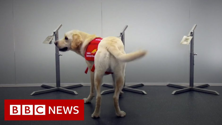 Sniffer dogs could bolster coronavirus screening at airports – BBC News